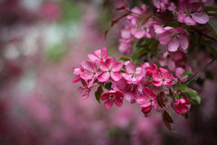Pink apple-tree flowers Royalty Free Stock Photography