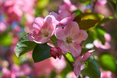 Pink apple-tree flowers. Close-up of pink apple tree flowers royalty free stock image