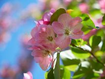Pink apple-tree flowers. Close-up of pink apple tree flowers on blue sky background royalty free stock images
