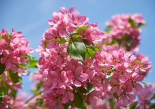 Pink apple-tree flowers. Close-up of pink apple tree flowers on blue sky background royalty free stock photography