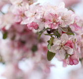 Pink apple tree flowers Royalty Free Stock Photo