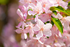 Pink apple tree in spring Stock Photos