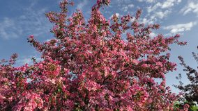 Pink Apple Trees Blossom in Spring Orchard stock footage
