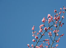 Pink apricot blossom Royalty Free Stock Images