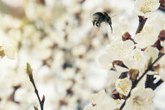 Pink apricot blossom in spring bumblebee royalty free stock photo
