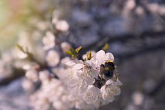 Pink apricot blossom in spring bumblebee royalty free stock photography