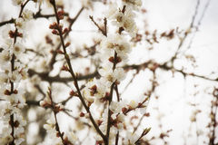 Pink apricot blossom in spring stock image