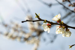 Pink apricot blossom in spring stock photo