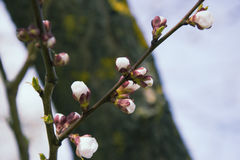 Pink apricot blossom in spring stock photos