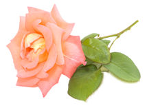 Pink apricot valentines rose Royalty Free Stock Photography