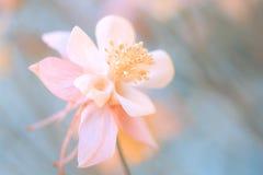 Pink Aquilegia flower closeup on a blue background. Beautiful pink flower.