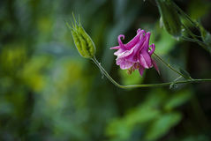 Pink Aquilegia flower stock photo