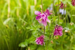 Pink Aquilegia flower on natural background, close up macro, home garden flowers. stock image
