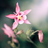 Pink Aquilegia Stock Photos