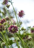 Pink aquilegia terry flower on a blurred bokeh green background stock image