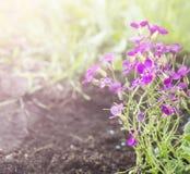 Pink Arabis Flower in garden, sunshine. Pink Arabis Flower in sommer garden, sunshine Stock Photography