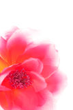 Pink artificial flower isolated Stock Photography