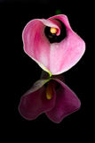 Pink arum lily reflection Royalty Free Stock Photo