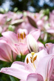 Pink asiatic lily Stock Photography