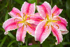 Pink Asiatic lily flower Stock Images