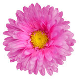 Pink aster Royalty Free Stock Photography