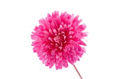 Pink aster Stock Photography