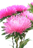 Pink aster. Close-up of  pink aster Stock Photography