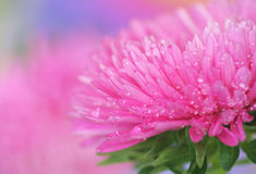 Pink aster Stock Image