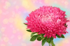 Pink aster Royalty Free Stock Photo