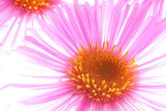 Pink aster Royalty Free Stock Images
