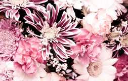 Pink aster background Stock Photo