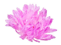 Pink aster bloom on white Royalty Free Stock Photo