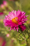 Pink aster and bud Stock Images
