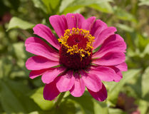 Pink aster close-up Stock Photos