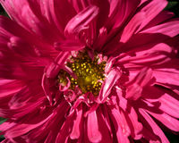 Pink Aster Stock Images