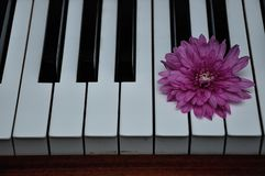 A pink aster displayed on top of piano keys. A single  pink aster displayed on top of piano keys stock image
