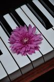 A pink aster displayed on top of piano keys. A single pink aster displayed on top of piano keys stock images