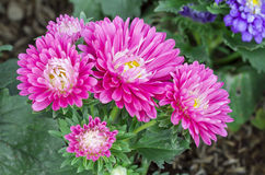 Pink aster flower stock image