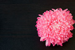 Pink aster flower Stock Photography