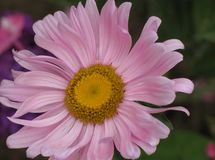 Pink Aster. Flower pink Aster close up Royalty Free Stock Images