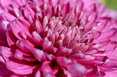 Pink Aster flower close up Stock Photos