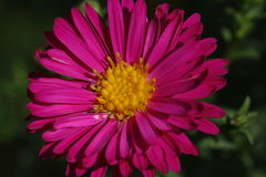 Pink aster flower Royalty Free Stock Photos