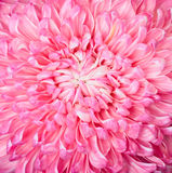 Pink aster flower, closup. Bright beautiful pink and white aster flower, closeup, petals Stock Photos