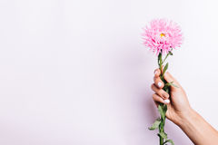 Pink aster flower in a female hand with a manicure on a pink bac Royalty Free Stock Images