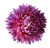Pink aster flower isolated on white background with clipping path.  Closeup no shadows. Stock Photography