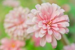 Pink Aster flower in Rama 9 (local name) national garden, Bangko Stock Images