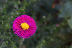 Pink aster flower Royalty Free Stock Image