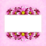 Pink aster flowers background and a frame Royalty Free Stock Photography