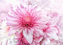 Pink aster flowers and blooming in nature Stock Images