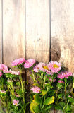 Pink aster flowers Royalty Free Stock Photography